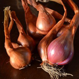 Seed Shallots